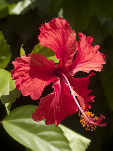Jamaica flower